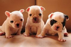 3 little-itty-bitty Frenchies ~so very cute!