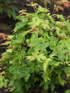 Fächer-Ahorn 'Higasayama' • Acer palmatum 'Higasayama' • Pflanzen & Blumen • 99Roots.com