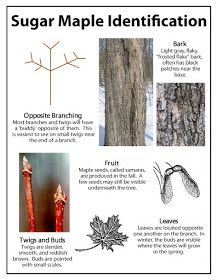 Identifying a Sugar Maple Tree ~Ohio Thoughts~: Sugaring or Tapping Maple Trees Maple Syrup Taps, Tapping Maple Trees, Homemade Maple Syrup, Sugar Bush, Tree Identification, Sugaring, Wild Edibles, Edible Plants, Edible Garden