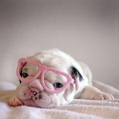 bulldog in pink glasses