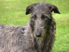 Scottish Deerhound <3