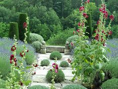 Hollyhocks and lavender add informality to a formal garden