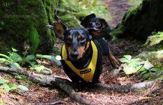 Dachshund Running Through the Woods