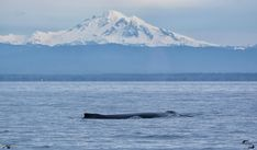 Humpback with Mt. Baker in the background.