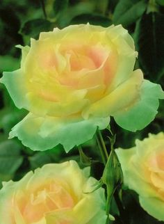 ♥  AHA  Her they are!!!   My 3 Yellow Roses - thank you my love for sending them to me now.  I miss you & LOVE you so much.