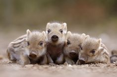 """Napping Piglets""   [These little wild boars were taken in a wildlife park. Their mother and the rest of the pack were feeding on potatoes.]~[Photograph by ~nele102 on deviantART - April 12 2008]"