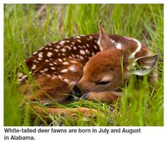 White-tailed deer fawns are born in July and August in Alabama.