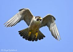 Peregrine falcon. These are crazy birds. The female we worked with ended up footing her handler in the face. Ouch.
