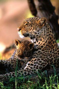 Африканские леопарды…