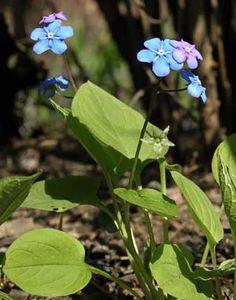 Kevätkaihonkukka, Omphalodes verna - Kukkakasvit - LuontoPortti