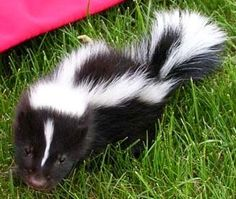 So beautiful and cute, Check out this article for over baby skunk pictures and an oh so amazingly cute baby skunk video Baby Skunks, Photo Reference, Cute Baby Animals, Animals Beautiful, Make Me Smile, Mammals, Cute Babies, Pets, Raccoons