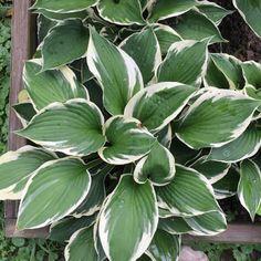 Minuteman Hosta Shade Garden, Garden Plants, Sun Hostas, Hosta Care, Hosta Varieties, Hosta Gardens, Backyard Garden Landscape, Leaf Coloring