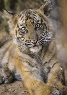 Little Mr. Perfect | Four-month old male Sumatran tiger cub Suka, poses perfectly for his portrait at Tiger Trail in the San Diego Zoo Safari Park