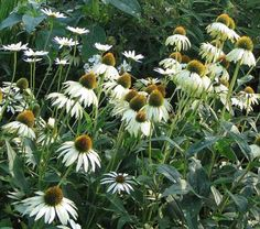 Echinacea - White Swan - Four Seasons Herbs Bright Flowers, Large Flowers, White Flowers, Perennial Border Plants, North Garden, Portland Garden, White Flower Farm, Diy Garden, Garden Ideas