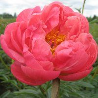 Hollingsworth Peonies - Coral Charm