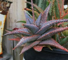 Aloe Little Spikey photo by palmbob on Garden Showcase Cool Succulents, Growing Succulents, Succulents In Containers, Planting Succulents, Planting Flowers, Types Of Cactus Plants, Cool Plants, Terrarium Plants, Succulent Terrarium