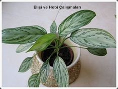 For the bathroom Aglaonema commutatum (Chinese Evergreen) Easy indoor plant for low light Indoor Plants Low Light, Best Indoor Plants, Inside Plants, Cool Plants, Luz Solar, Belle Plante, Growing Plants Indoors, Decoration Plante, Calathea