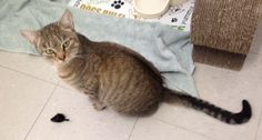 Meet Ginger, a Petfinder adoptable Tabby - Brown Cat Tabby Brown, Brown Cat, Kittens, Cats, October 2014, New Friends, Adoption, Meet, Animals