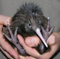 Did you know that Kiwi birds weigh MASSIVE eggs in proportion to their body size? Kiwis are only about the size of chickens, however their eggs can be up to of their body weight! That's like a 120 lb human female giving birth to a baby! Pretty Birds, Love Birds, Beautiful Birds, Animals Beautiful, Baby Kiwi, Foto Nature, Animals And Pets, Cute Animals, Pretty Animals