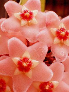 Margit Sepsi - Hoya Flower. | Facebook