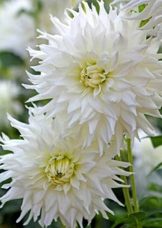 Dahlia 'Verda' is a breathtaking beauty which displays sparkling white blossoms radiating out from greenish yellow centers. The flowers of this Semi-Cactus Dahlia are quite spectacular about inches across cm) and absolutely irresistible. Summer Bulbs, White Dahlias, Dahlia, Plants, White Gardens, Dahlias Garden, Companion Planting, Dahlia Flower, Colorful Garden