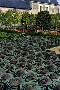 The Chateau Villandry in France is famous for its elaborate parterre gardens that use vegetables for decorative effect rather than flowering annuals.