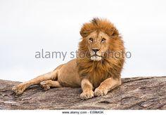 lion (Panthera leo) - lion (Panthera leo) on a rock boulder Photographed in Tanzania Lion Book, Beautiful Lion, Male Lion, Animal Posters, Cat Life, Cool Artwork, Tanzania, Lions, Africa