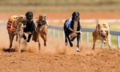 Dog Racing, Hot Dog & Beer for 2 @ Doncaster Greyhound Stadium Wolverhampton, Liverpool, Racing Dogs, Horse Racing, Network For Good, Great Night, Blackpool, Looking For Love, Animal Welfare