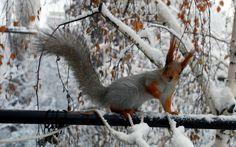 animals-squirrels-snow-branches-squirrel-snow-animals-winter-winter-squirrel-rodent-wallpaper-370671.jpg (800×500)