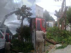 Operativo de extracción de un árbol de gran porte en villa San Antonio: Los trabajos se realizan sobre una tipa de 20 metros de altura para…