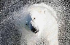 Ours blanc retrouvant sa piscine