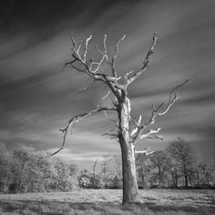 Dead Tree in Infra Red