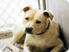 URGENT Mesa, AZ - Pit Bull Terrier Mix. Meet RADAR, a dog for adoption. East Valley Animal Care Center http://www.adoptapet.com/pet/12047855-mesa-arizona-pit-bull-terrier-mix