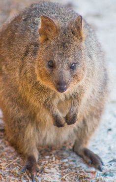 Cute little Quokka on Rottnest Island, Western Australia