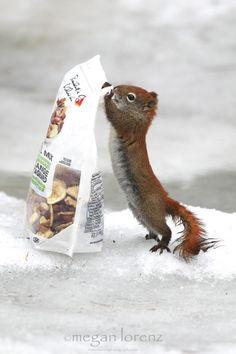 llbwwb: Cute little squirrel by Megan Lorenz. Cute Squirrel, Baby Squirrel, Squirrels, Animals And Pets, Baby Animals, Funny Animals, Squirrel Pictures, Animal Pictures, Pets