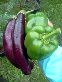#Growing our #Japanese #eggplant and peppers with #vermicompost... http://www.naturesfootprint.com/vermiculture