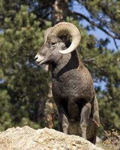 big horn sheep Like Animals, Nature Animals, Animals And Pets, Beautiful Creatures, Animals Beautiful, Goat Picture, Sheep Drawing, North American Animals, Chamois