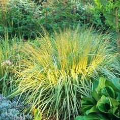 ...Purple Moorgrass  (Molinia caerulea)offers delightful mounding foliage that turns brilliant gold in autumn. It's a nice choice for partially shaded gardens-to 5ft tall...