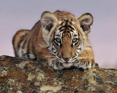 bengaalse tijger.mooi beest