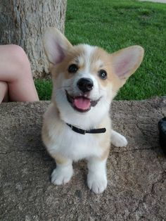 NO. NOT CORGI PUPPIES. THAT IS WHERE WE DRAW THE LINE, BYE!!!!!!!! | 21 Puppies So Cute You Will Literally Gasp And Then…