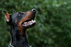 The Doberman Pinscher is among the most popular breed of dogs in the world. Known for its intelligence and loyalty, the Pinscher is both a police- favorite Doberman Dogs, Doberman Pinscher, Fur Babies, Puppies, Animals, Future, Photography, Doberman, Cubs