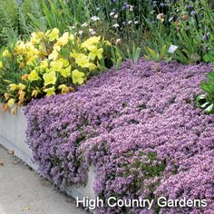 Thymus praecox ssp. arcticus 'Coccineus' - Flat of 32 plants  Pink Creeping Thyme - High Country Gardens