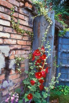 hollyhock and blue gate