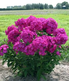 Monrovia's Volcano® Ruby Phlox details and information. Learn more about Monrovia plants and best practices for best possible plant performance. Planting Flowers, Plants, Phlox Flowers, Shrubs, Flower Beds, Monrovia Plants, Shade Loving Shrubs, Perennial Garden, Perennial Plants