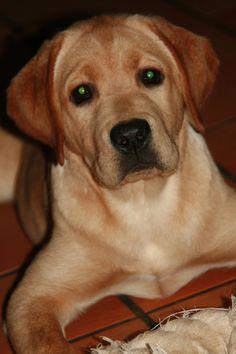 Laurkim Labradors