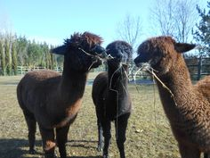 The Alpacas enjoying the sun