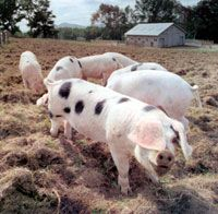 Raise your own pigs for better meat. and porcine 'tiller power'. Small Pigs, Small Farm, Gloucestershire Old Spots, Sustainable Farming, Urban Farming, Sustainable Living, Hog Farm, Pig Farming, Farming Ideas