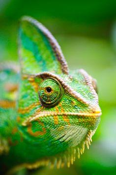 Cameleon green verde chakras energía