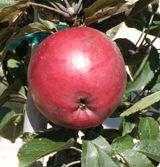 Arkansas Black Apple / M7  One of the nationally favorite heritage apples, its dark red fruit turns nearly blackish when its fully ripe and its tart flavor mellows in storage.    Ripening late in the season, Arkansas Black is an excellent keeper and is somewhat resistant to cedar-apple rust and fireblight.    USDA Zones 4-9.      Our price: $22.95