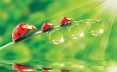 DIY Diamond Painting Ladybugs with Water Droplets - craft kit Animated Wallpaper For Pc, Moving Wallpapers, Hd Wallpaper, Animal Wallpaper, Desktop Wallpapers, Deco Stickers, Spring Animals, Water Droplets, Cross Paintings